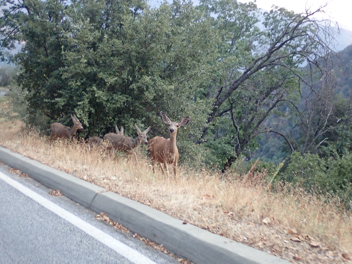 Sequoia inquisitive and friendly deer out for dinner